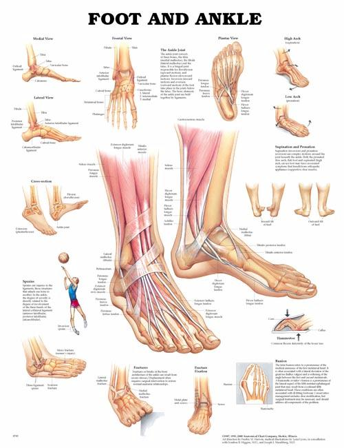 The Skeletal System Unmounted Chart An 9781587790638 695