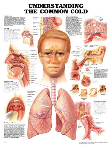 Framed ear nose throat diagram wiring diagram for light switch ear nose throat skeletons and more rh skeletonsandmore com human sinus diagram ear human sinus diagram ear ccuart Choice Image