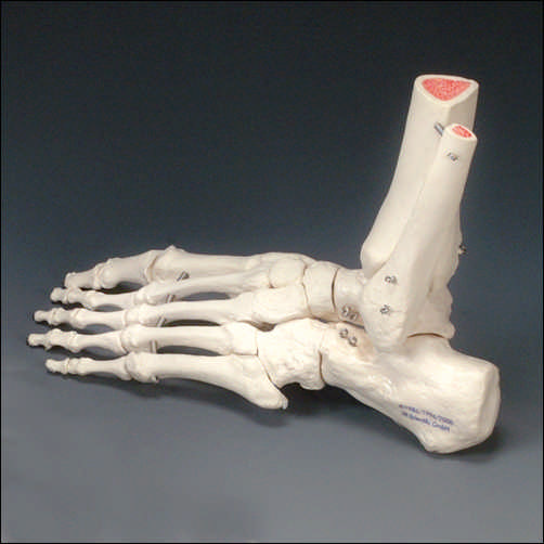 Rigid Foot Skeleton With Portion Of Tibia And Fibula Left An A31l