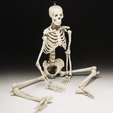 BUCKY SKELETON (4TH QUALITY) [AN-CH10D4] - $139.95 : Skeletons And More!