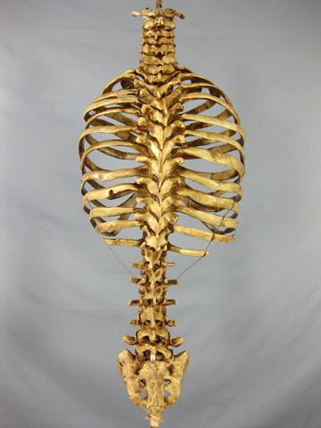 Skeleton Life-Size Age...