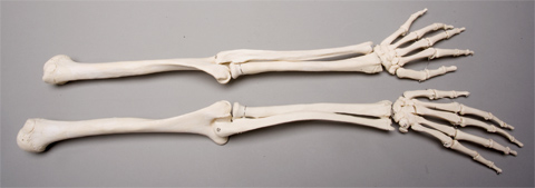 Skeleton Arms Life Size Pair 2nd Class Sm370d 39