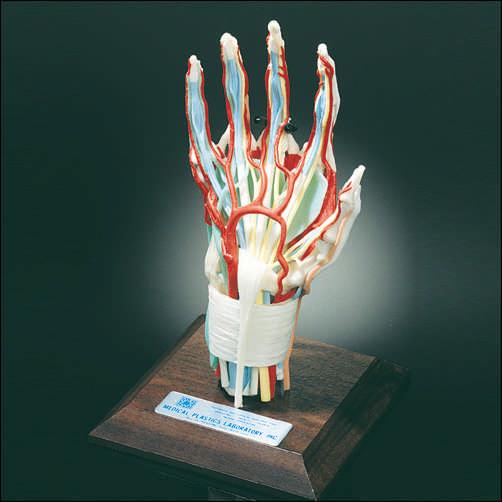 Anatomical Modelscharts Skeletons And More